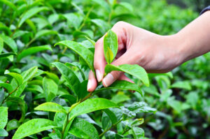 English tea plantation bags bumper crop in heatwave to rival Kenya and India